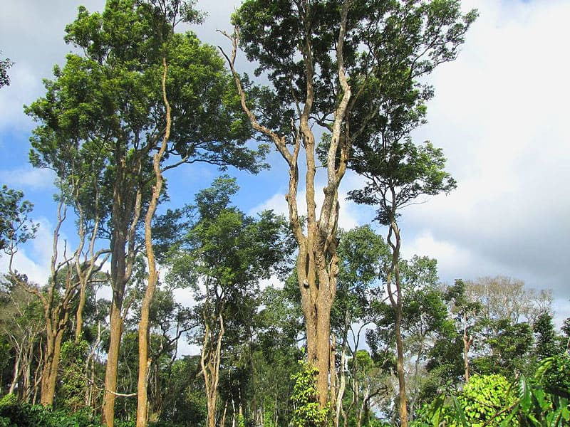 The Exotic Wood Indian Rosewood Tree In A Coorg Plantation